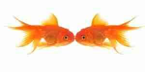 Prendre soin de poissons rouges, aquarium des réservoirs, des filtres et de la nourriture