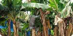 Grandir et de soins pour des bananiers