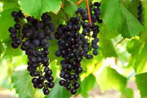 Cultiver la vigne: le choix des variétés, de la vigne, taille, palissage