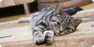 Nettoyage chat vomi hors de tapis: tapis conseils de nettoyage