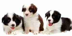 Soins pour un border collie chien: chien de soins de