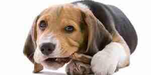 Choisissez chien os: chien mâche