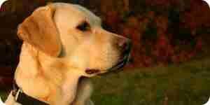 Jaune labrador retriever: de formation de chien, de la nutrition et de soins pour animaux de compagnie