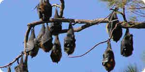 Attraper une chauve-souris frugivore