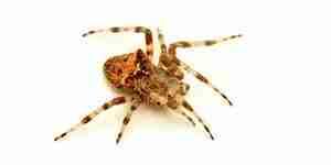 Tuer les araignées: spider antiparasitaire