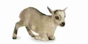 Soins pour les chèvres pygmées
