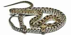 Faire de serpent pièges