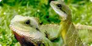 Prendre soin des iguanes: iguana conseils d